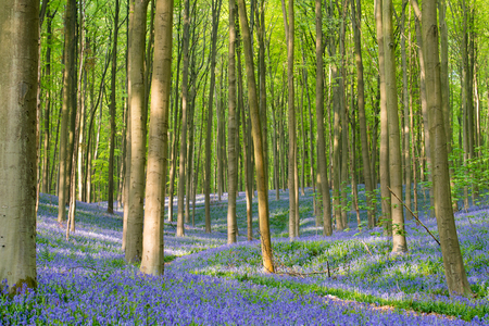 Photo for Bluebells forest - Royalty Free Image