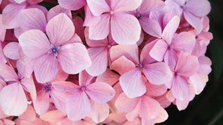 Foto de Close-up of Hydrangea macrophylla flowers with beatiful colors and detail - Imagen libre de derechos