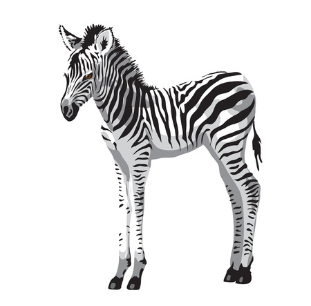 Illustration pour Zebras foal. Vector illustration. - image libre de droit