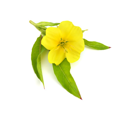 Photo for Oenothera flower isolated. - Royalty Free Image
