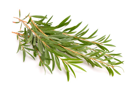 Photo for Melaleuca twigs. Isolated on white background. - Royalty Free Image