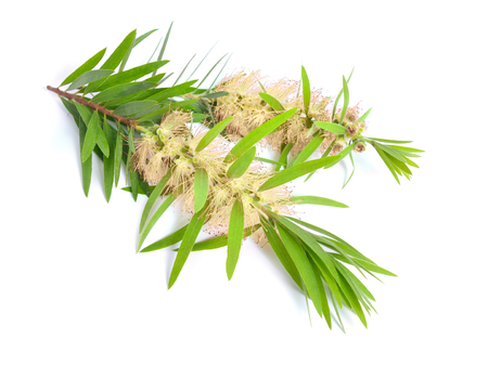 Photo for Melaleuca tea tree twig with flowers. Isolated on white background. - Royalty Free Image