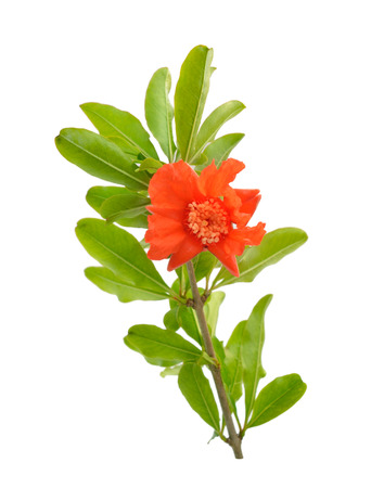 Photo pour Flowers of Pumeca granatum or pomegranate isolated on white background. - image libre de droit