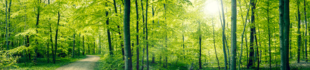 Photo for Panorama landscape of a beech forest in the spring - Royalty Free Image