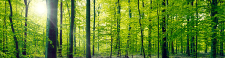 Photo pour Panorama landscape of a beech forest in the springtime - image libre de droit
