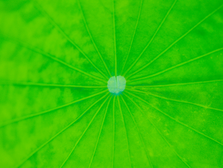 Photo pour Closeup texture of lotus leaves with soft focus, large and bright. - image libre de droit