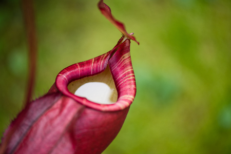 Photo pour Close up of Nepenthes also called tropical pitcher plants or monkey cups in the plant nursery garden dangerous plant for insect. - image libre de droit