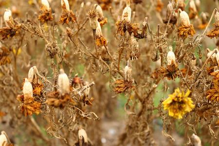 Foto de closeup of dry marigold flower on plant - Imagen libre de derechos