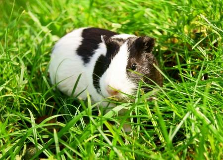 Guinea pig in a green grass.