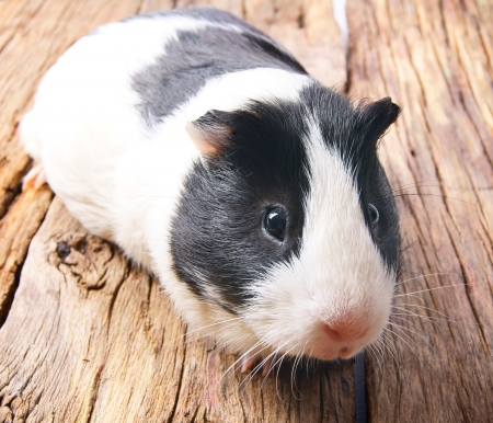 Guinea pig on wooden board.