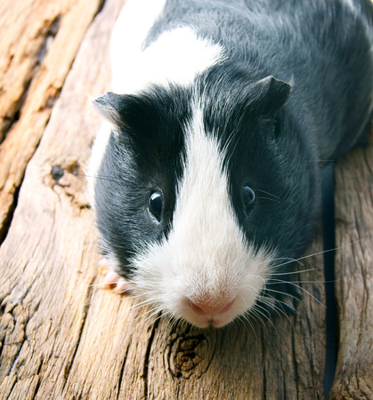 Photo for Guinea pig . On a wooden background. - Royalty Free Image