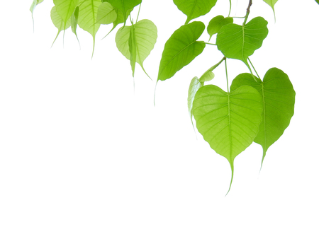 Photo for green bodhi leaf on white background - Royalty Free Image