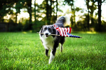 Photo pour Happy dog playing outside and carrying the American flag - image libre de droit