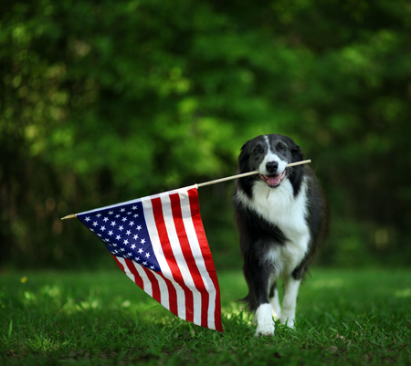 Foto de Happy border collie carrying USA flag - Imagen libre de derechos