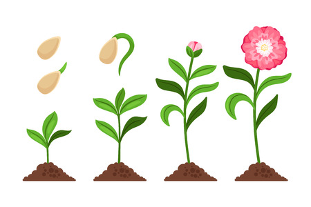 Illustration for Pink flower growth and flourish process icons. Vector illustration - Royalty Free Image