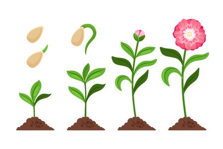 Ilustración de Pink flower growth and flourish process icons. Vector illustration - Imagen libre de derechos