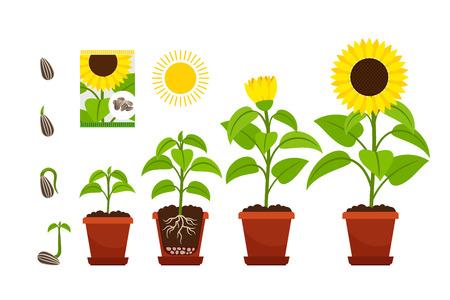 Illustration pour Sunflower cartoon vector illustration. Sunflowers seedling with yellow flowers in pot isolated on white - image libre de droit