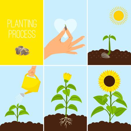 Illustration pour Flower planting process vector illustration. Planting a seed watering. Growing and blooming sunflower - image libre de droit