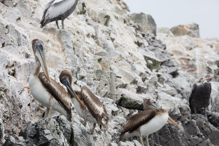 Foto de The Ballestas Islands, a reserve full of birds and penguins producing guano - Imagen libre de derechos