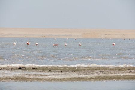 Foto de Flamingos chilenos  in National reserve of Paracas, Peru - Imagen libre de derechos