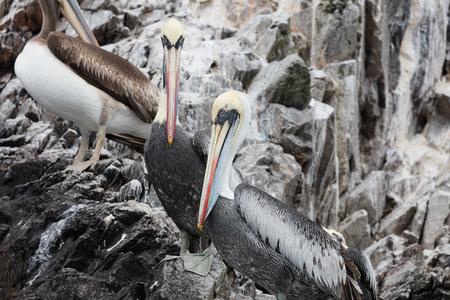 Foto de The Ballestas Islands, a reserve full of birds and penguins producing guano - Imagen libre de derechos