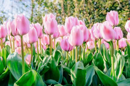 Photo pour Group pink tulips against the sky. Spring landscape. - image libre de droit