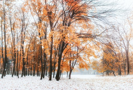 Photo for October mountain beech forest with first winter snow - Royalty Free Image