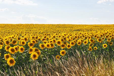 Photo pour Sunflower field with cloudy blue sky - image libre de droit