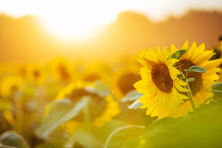 Photo pour Sunflower field at sunset. - image libre de droit