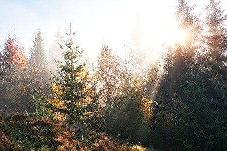 Photo for Beautiful morning fog and sunbeams in the autumn pine forest. - Royalty Free Image