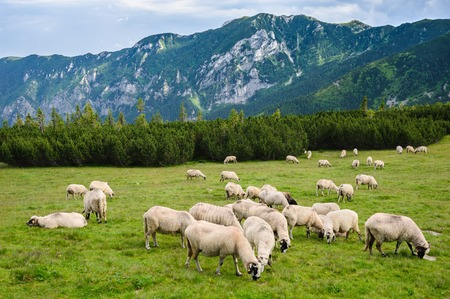 Photo pour Sheep herds at alpine pastures in Retezat National Park, Carpathians, Romania. - image libre de droit