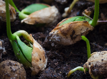 Photo pour Germinating seeds. Young shoots of plants. Close up. - image libre de droit