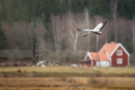 Crane bird Grus grus in for landing at Horborgarsjon with red house in background, Sweden