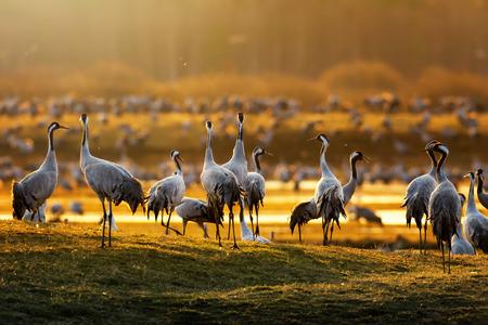 Foto de Crane birds (Grus grus) in morning light during a spring sunrise at Hornborgarsjon, Sweden - Imagen libre de derechos