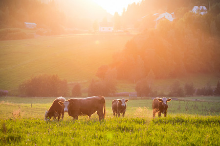 Foto de Livestock grazing during sunset in an idyllic valley, sweden - Imagen libre de derechos