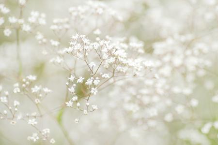 Foto für Babys breath flower or Gypsophila paniculata in closeup, many white flowers in clusters. Sweden - Lizenzfreies Bild