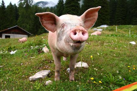 Funny pig in the mountain. Dolomiti, italy
