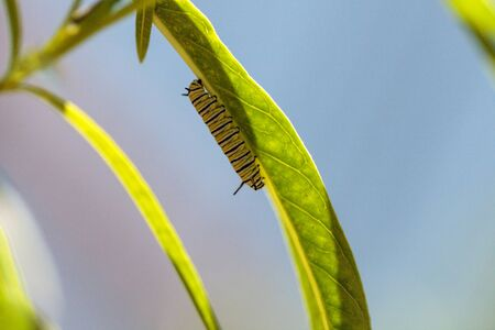 Foto de Monarch caterpillar, Danaus plexippus, in a butterfly garden on a flower in spring in Southern California, USA - Imagen libre de derechos