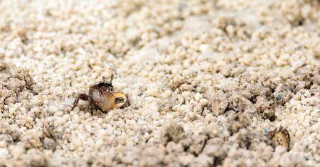 Foto de Fiddler crab Uca panacea comes out of its burrow in the marsh area before Tigertail Beach on Marco Island, Florida - Imagen libre de derechos