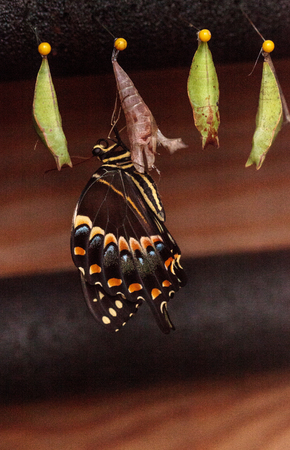 Foto de Palamedes swallowtail butterfly, Papilio palamedes, emerges from a chrysalis, in a butterfly garden in spring in Naples, Florida, USA - Imagen libre de derechos