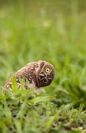 Foto de Funny Burrowing owl Athene cunicularia tilts its head outside its burrow on Marco Island, Florida - Imagen libre de derechos