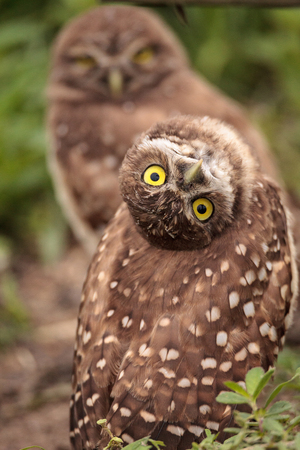 Photo for Funny Burrowing owl Athene cunicularia tilts its head outside its burrow on Marco Island, Florida - Royalty Free Image