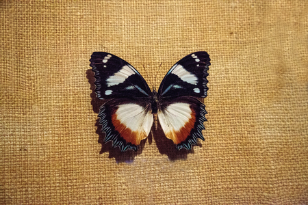 Foto de Hypolimnas dexithea pinned to a display board as a specimen. It is a butterfly endemic to Madagascar. - Imagen libre de derechos