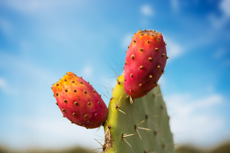 Photo pour Prickly pear cactus with fruit - image libre de droit