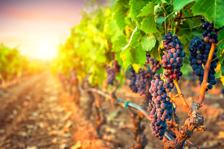 Photo for Bunches of grapes in the rows of vineyard at sunset - Royalty Free Image