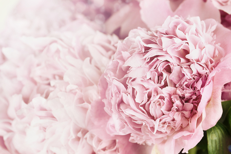 Photo for Beautiful toned pink peonies in the sunlight. Extremely shallow depth of field with selective focus on flower in foreground. - Royalty Free Image