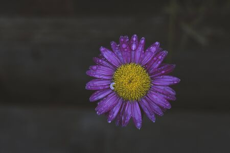 Violet-yellow flower in the rain drops