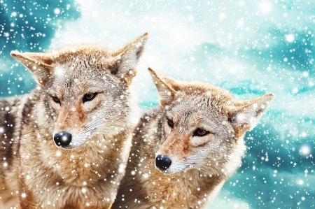 Photo pour Coyote pair against the blue winter sky. Animals in the wild. - image libre de droit