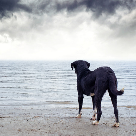 Cute black dog standing at the river bank, afraid of the water.