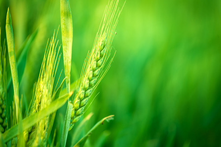 Foto de Green Wheat Head in Cultivated Agricultural Field, Early Stage of Farming Plant Development, Selective Focus with Shallow Depth of Field - Imagen libre de derechos